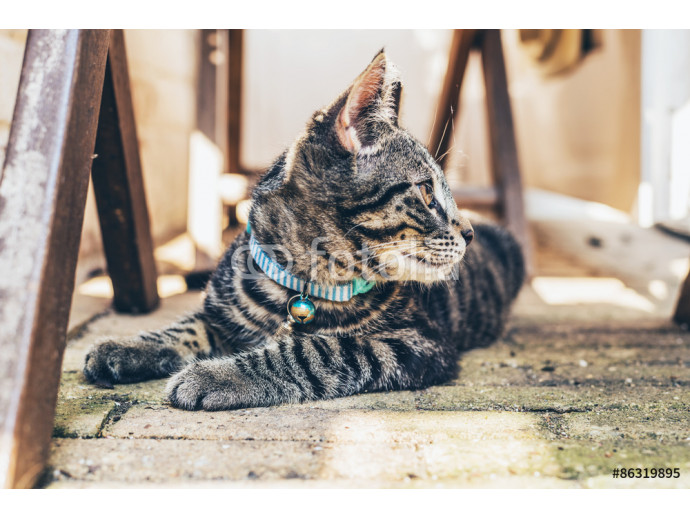 Young tabby cat wearing a blue collar 64238
