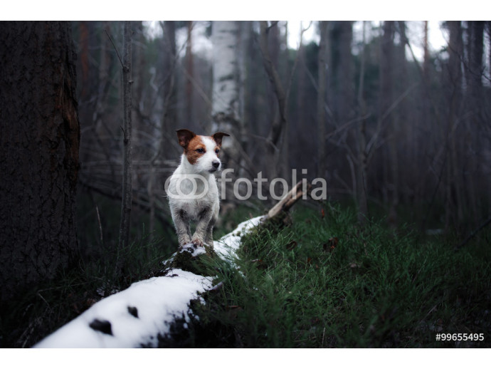 Dog Jack Russell Terrier 64238
