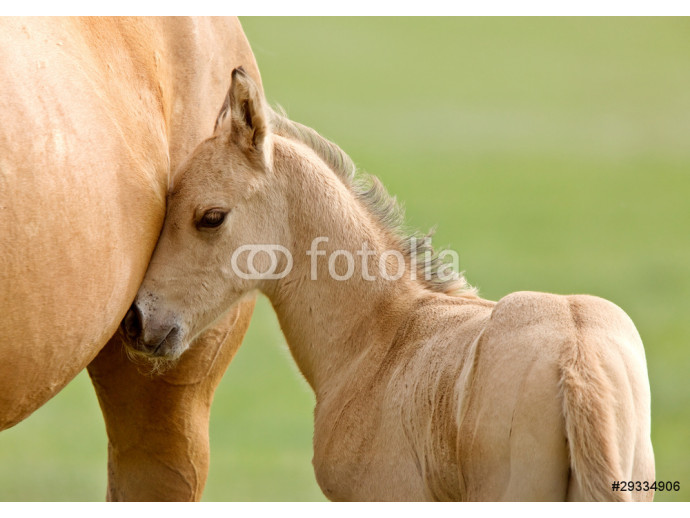 Horse and colt 64238