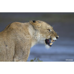 Portrait of wild lion growling in its natural savanna habitat 64238