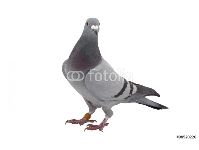 Grey sport pigeon isolated on white 64238