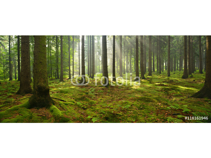 Spruce Tree Forest, Sunbeams through Fog illuminating Moss Covered Forest Floor, Creating a Mystic Atmosphere 64238