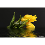 Yellow tulips on a black background reflecting in the water 64238