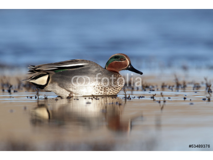 Teal, Anas crecca, male 64238