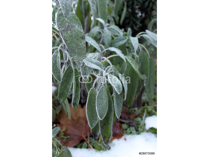 Winter: sage in the backyard. 64238