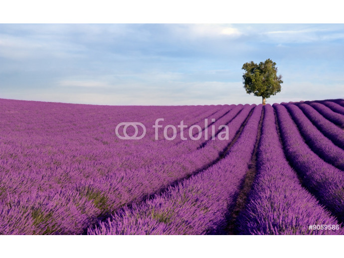 Rich lavender field in Provence with a lone tree 64238