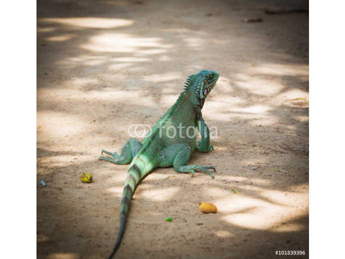 Vliestapete Large green iguana sitting on the sand 64238