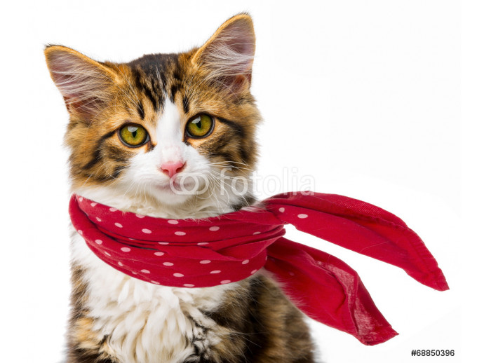 cute little long haired maine cat with red scarf 64238