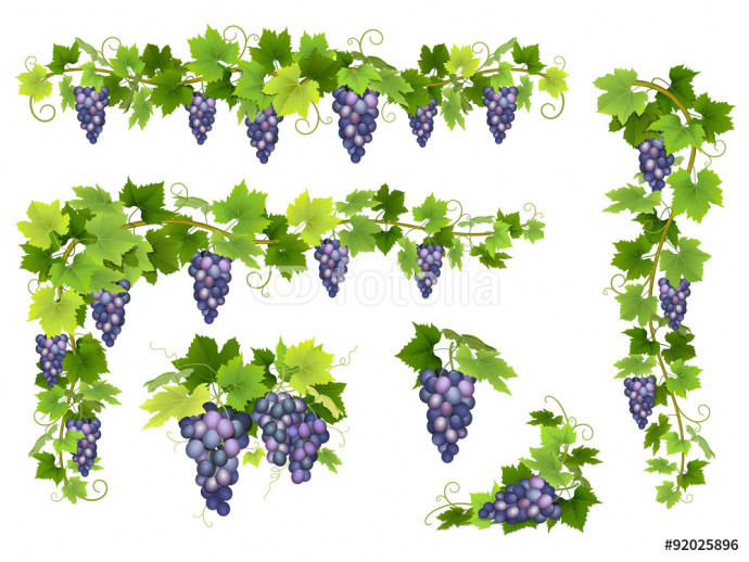A set of bunches of blue grapes. Cluster of berries, branches and leaves. Vector illustration. 64238