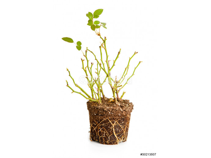 Fotomurale Bush of a decorative rose with roots 64238