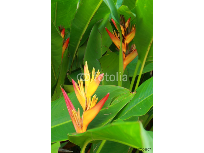 Heliconia yellow flower 64238