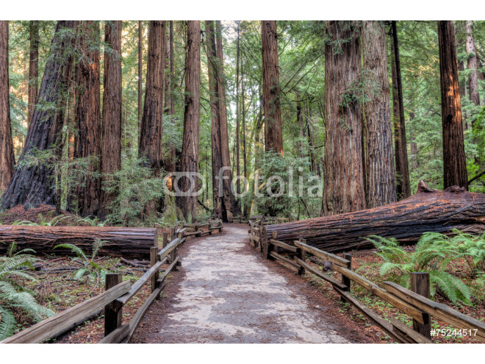 Fotomural decorativo Muir Woods National Monument Hiking Path 64238