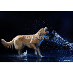 Nova Scotia duck tolling Retriever on a black background 64238