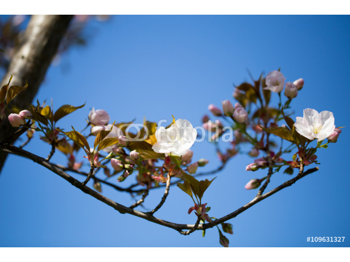 Cherry blossom background with spring day. 64238