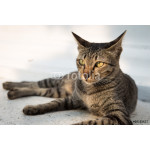 Portrait of Thai cat lying on white wall with sunset light 64238