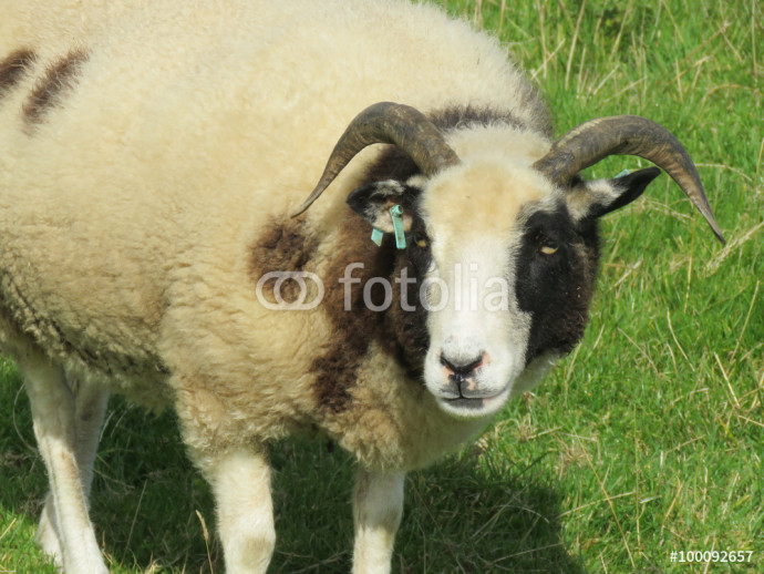 Jacob sheep in a field