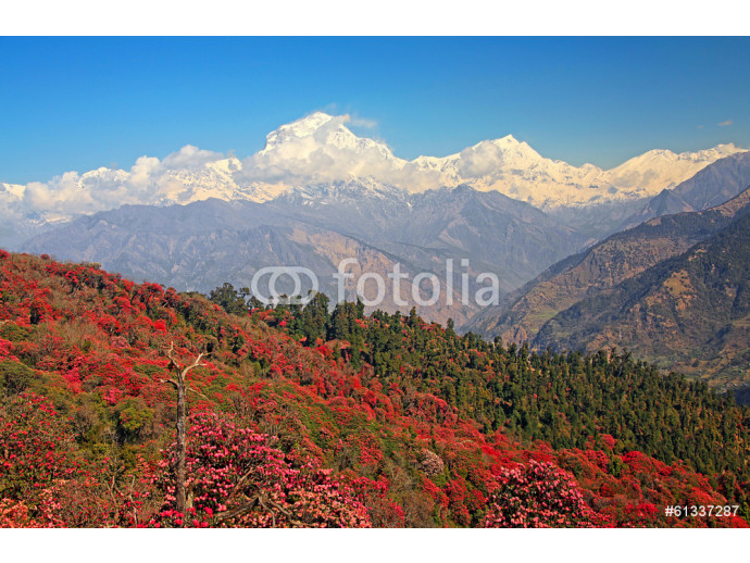 Dhaulagiri peak (8167 m) with spring rhododendron forest. 64238