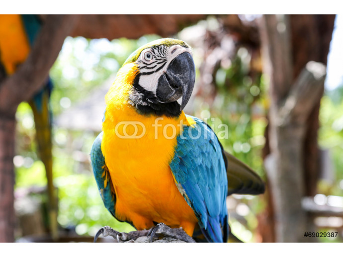 blue and yellow Macaw portrait 64238