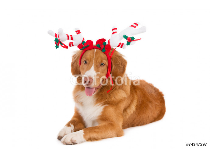 Nova Scotia Duck Tolling Retriever with white Christmas antlers 64238