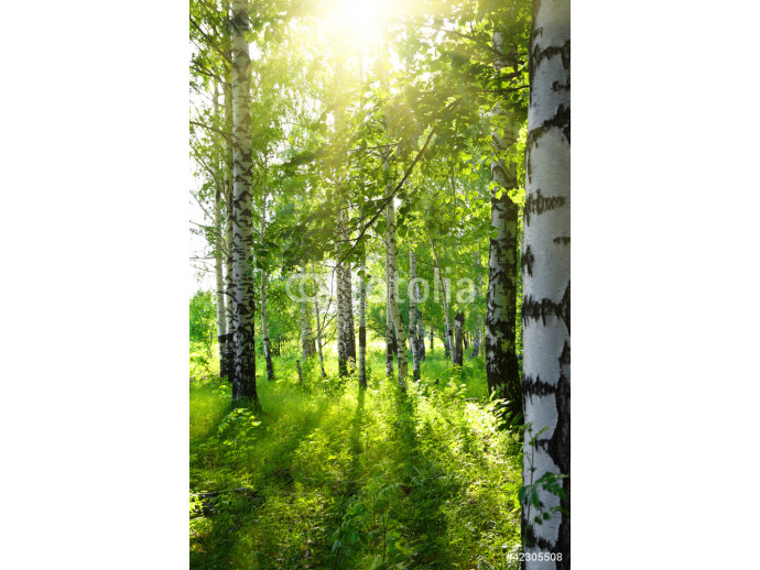 summer birch woods with sun 64238
