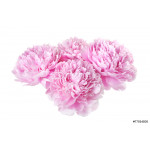 group of four pink peonies isolated on white background 64238