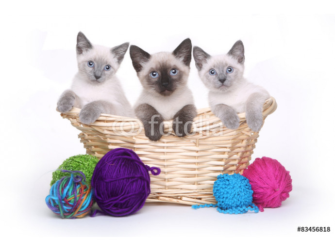 Siamese Kittens on White Background With Yarn 64238