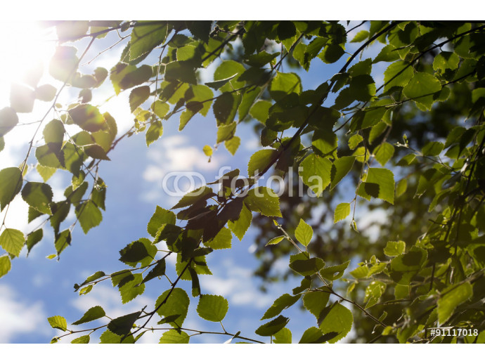 You can almost smell the summer. What a feeling. Image is about fresh birch leaves against the sunlight 64238