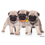 Three pug puppy standing and looking at the camera (isolated on white) 64238