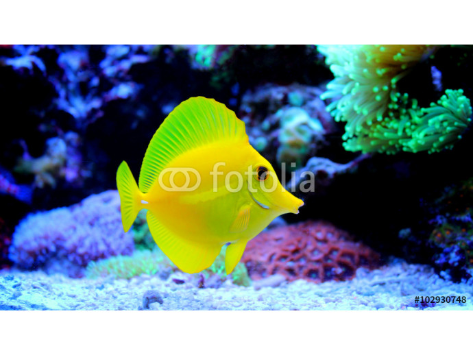 Yellow Tang (Zebrasoma flavescens) 64238