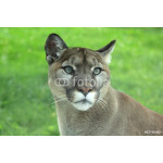 Closeup of cougar or mountain lion in the grass 64238