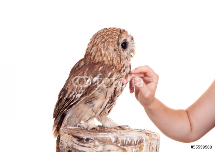 Tawny or Brown Owl (Strix aluco) isolated on the white 64238