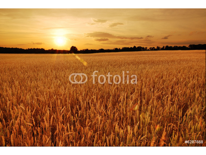 Field of wheat at sunset 64238