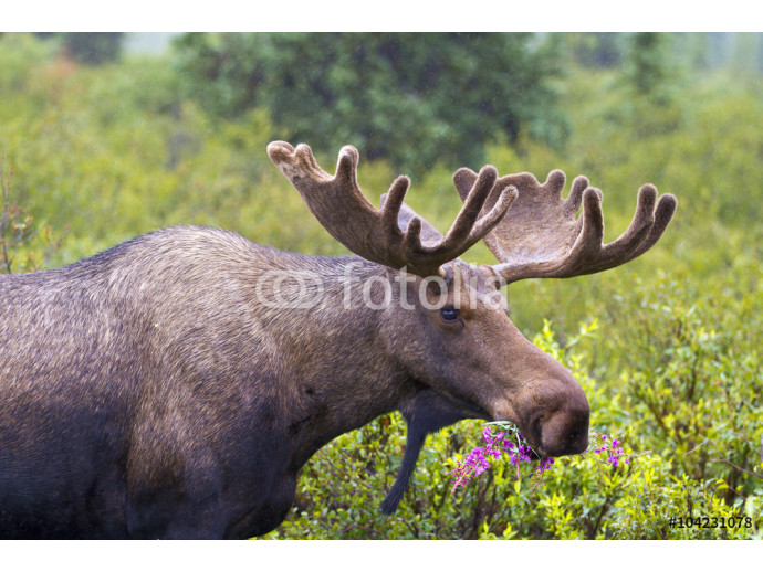 Moose Munch - A young bull moose with velvet still on its new antlers munches on fireweed in Denali National Park, Alaska.