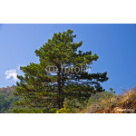 Pine tree on mountain Troglav at late summer, west Serbia 64238