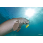 Dugong (dugong dugon) or seacow in the Red Sea. 64238