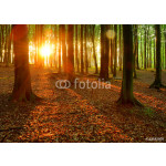 Forest of Deciduous Trees Illuminated by Sunbeams at sunset, lens flares 64238