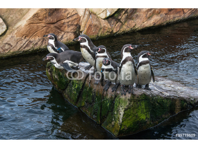 Humboldt penguins on a rock in the middle of a pool in an enclosure in a zoo 64238