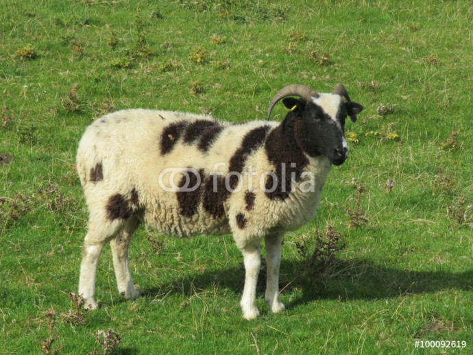 Jacob sheep in a field 64238