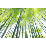 bamboo forest2 64238