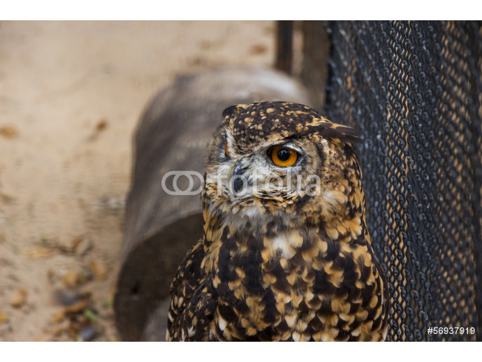 A Portrait of a Cape Eagle Owl in Captivity 64238