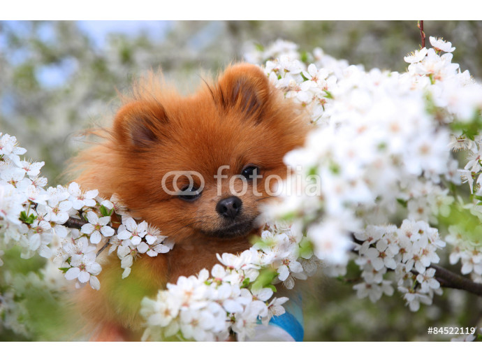 Lovely pomeranian dog in the blossom 64238