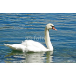 The Swan on Lucerne Lake 64238