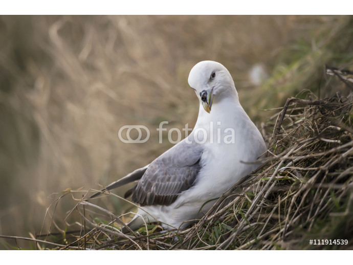 Fulmar, Fulmarus glacialis, sitting on cliffside nest 64238