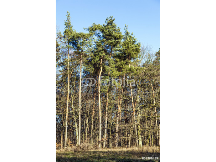 blue sky with structure of forest in wintertime 64238