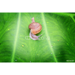 Small brown snail on a green leaf 64238