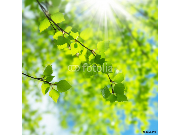 Spring natural background with young birch leaves 64238