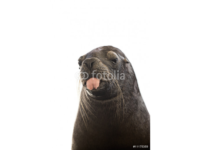 Sealion with tongue out its mouth 64238