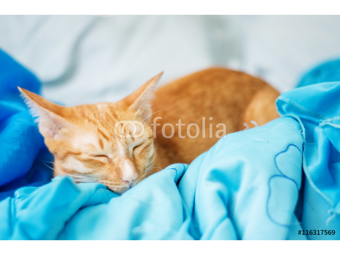Lovely red cat, soft focus. 64238