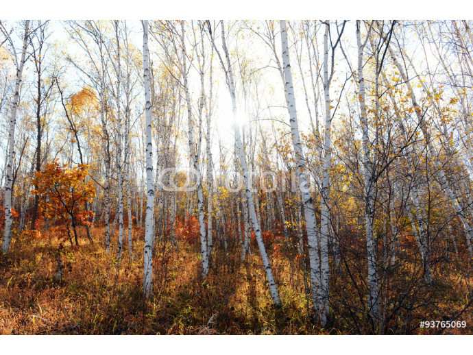 birch tree in sunlight 64238