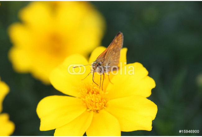 Butterfly & yellow 64239